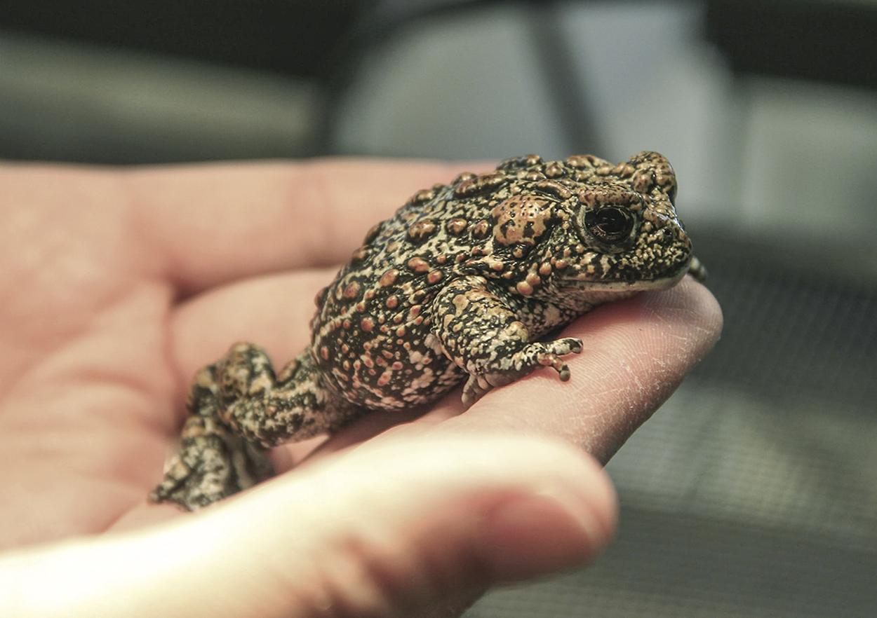 В Северной Америке нашли новый вид жаб. И он уже под угрозой