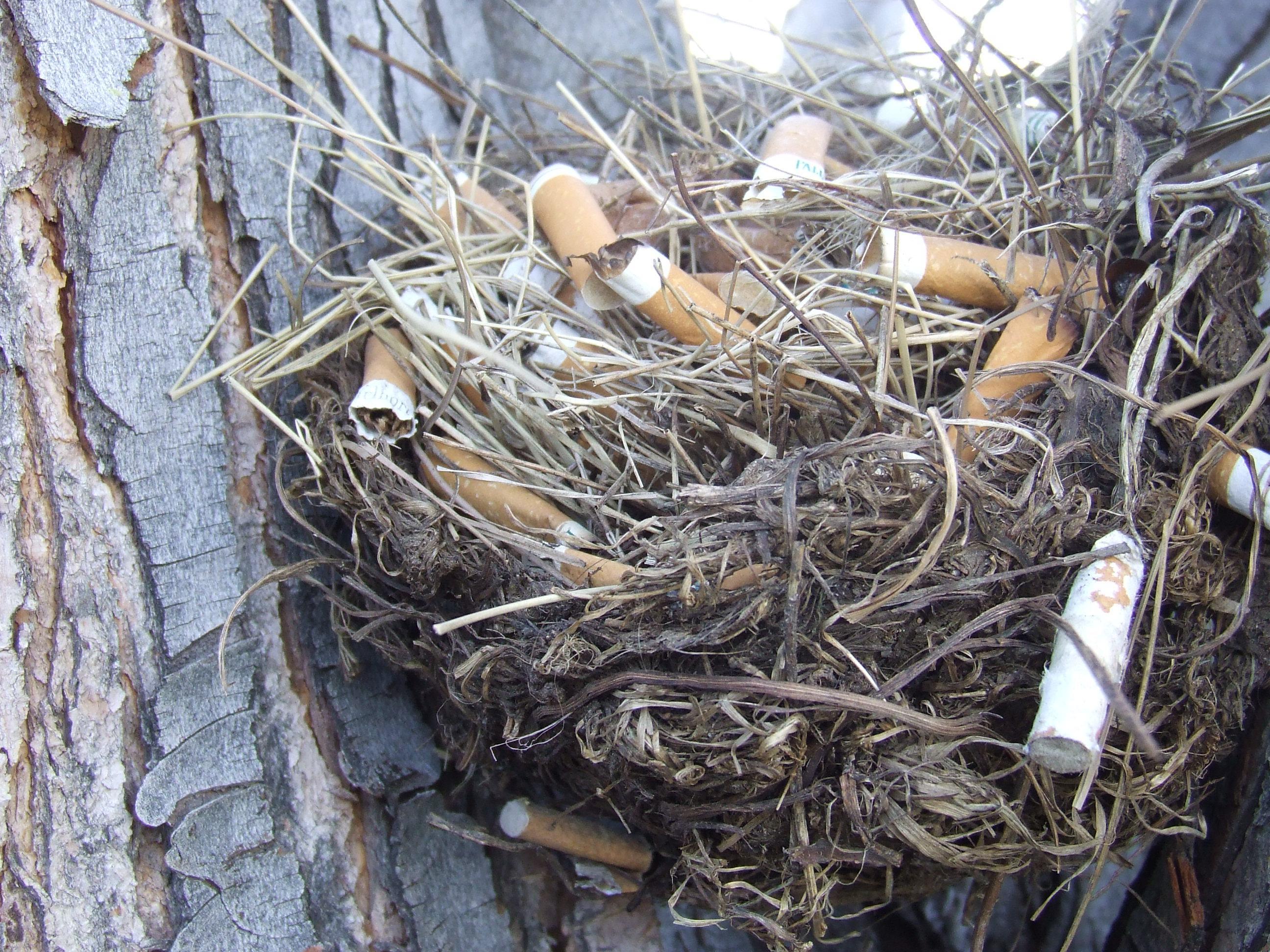 Сигаретные окурки оказались полезны для здоровья вьюрков