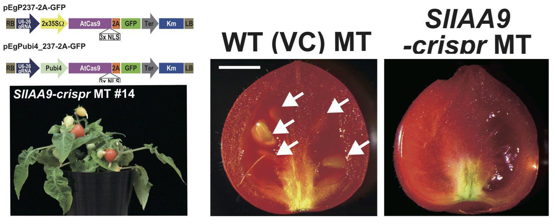 CRISPR/Cas9 лишила помидоры семян и потребности в опылении