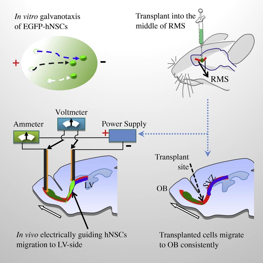 Новорожденные нейроны ползут по электрическому току