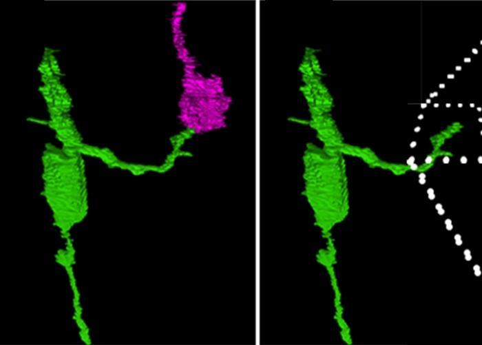 у взрослых мышей добились регенерации нейронов сетчатки