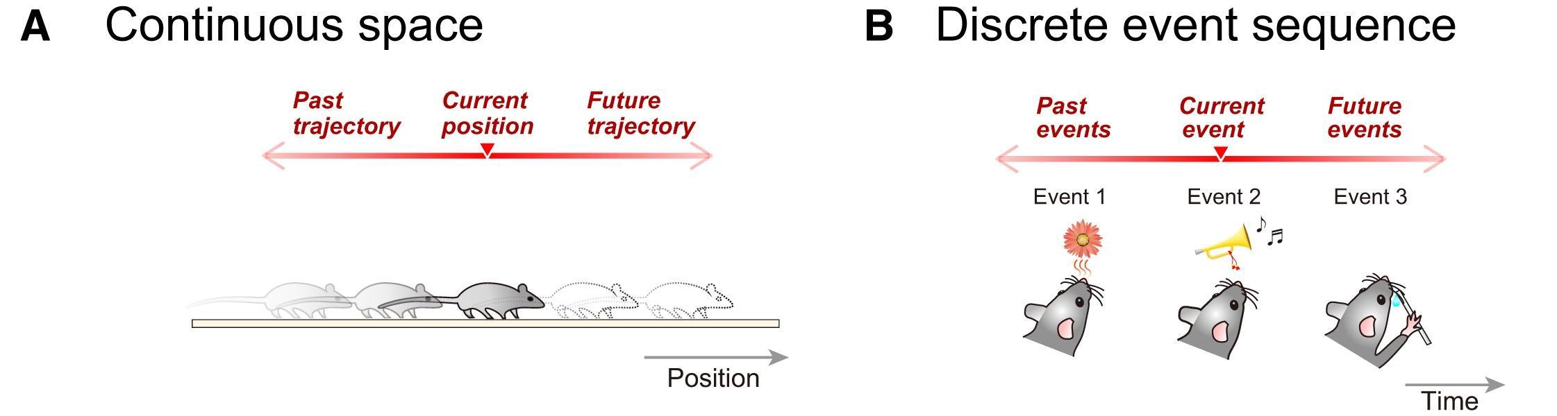 Клетки гиппокампа последовательно организуют воспоминания о событиях