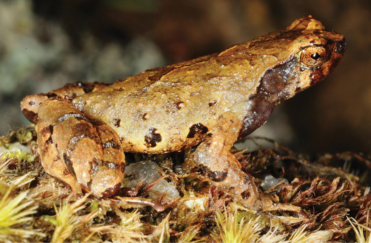 Зоологи обнаружили жаб-эльфов в горах Вьетнама