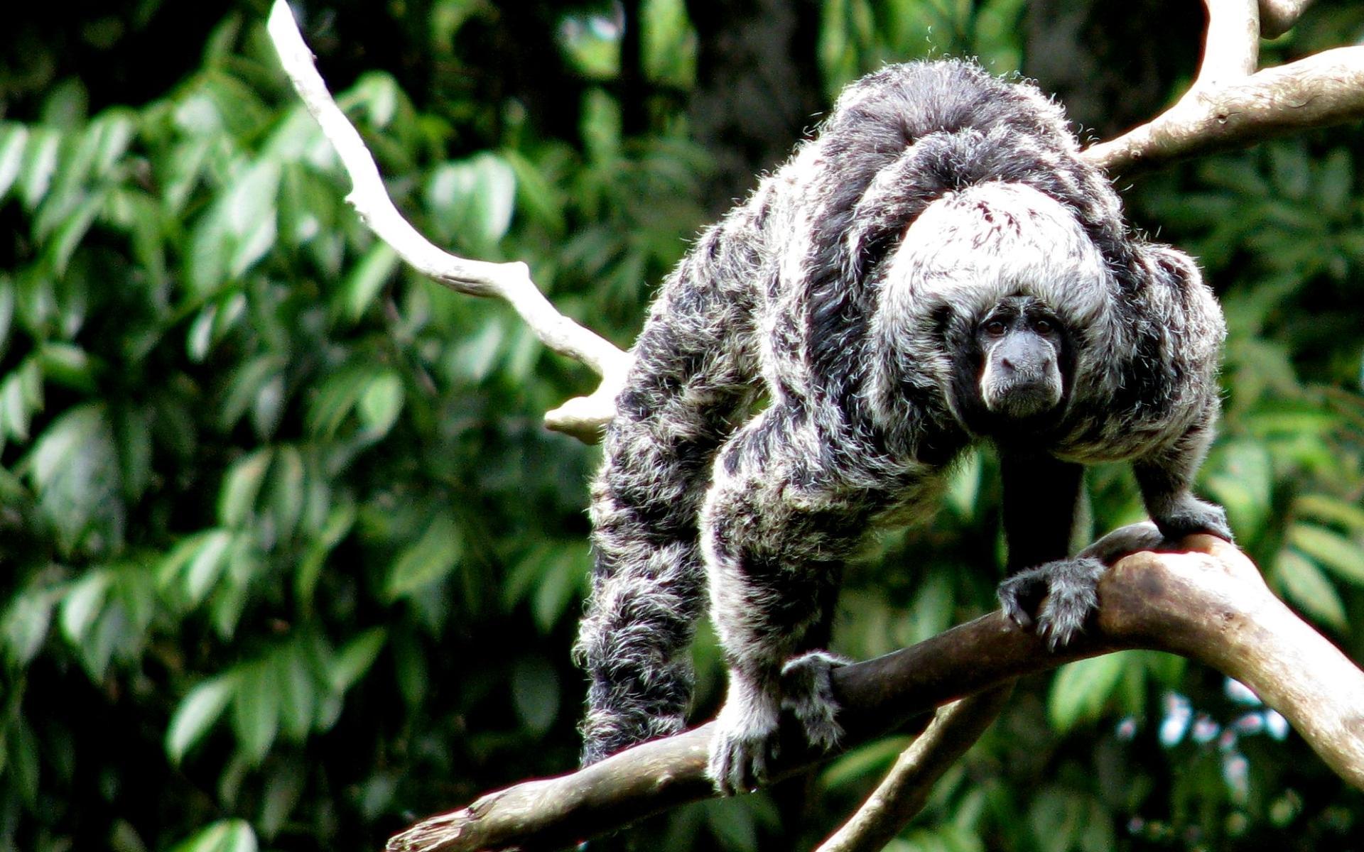 Перуанские обезьяны вылечили животы термитниками