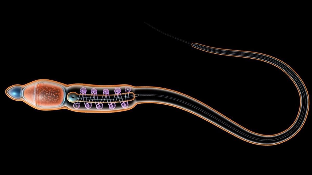 Рак будут лечить сперматозоидами