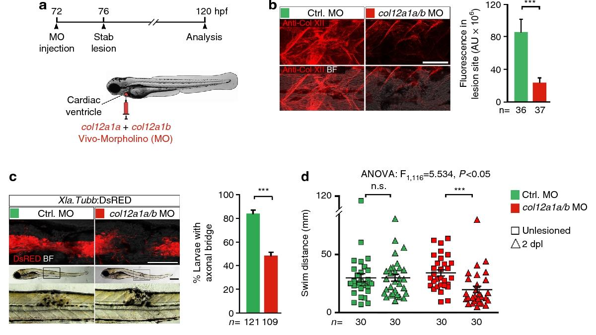 Ученые уточнили механизм восстановления спинного мозга рыбы данио-рерио