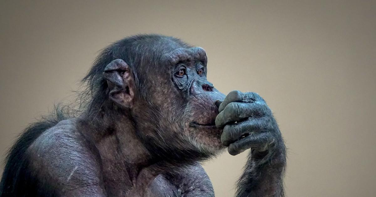 У шимпанзе обнаружили признаки болезни Альцгеймера