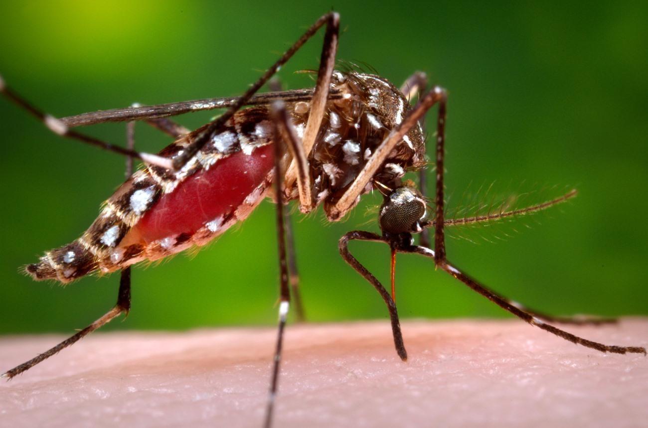 Учёные усовершенствовали комаров для борьбы с малярией