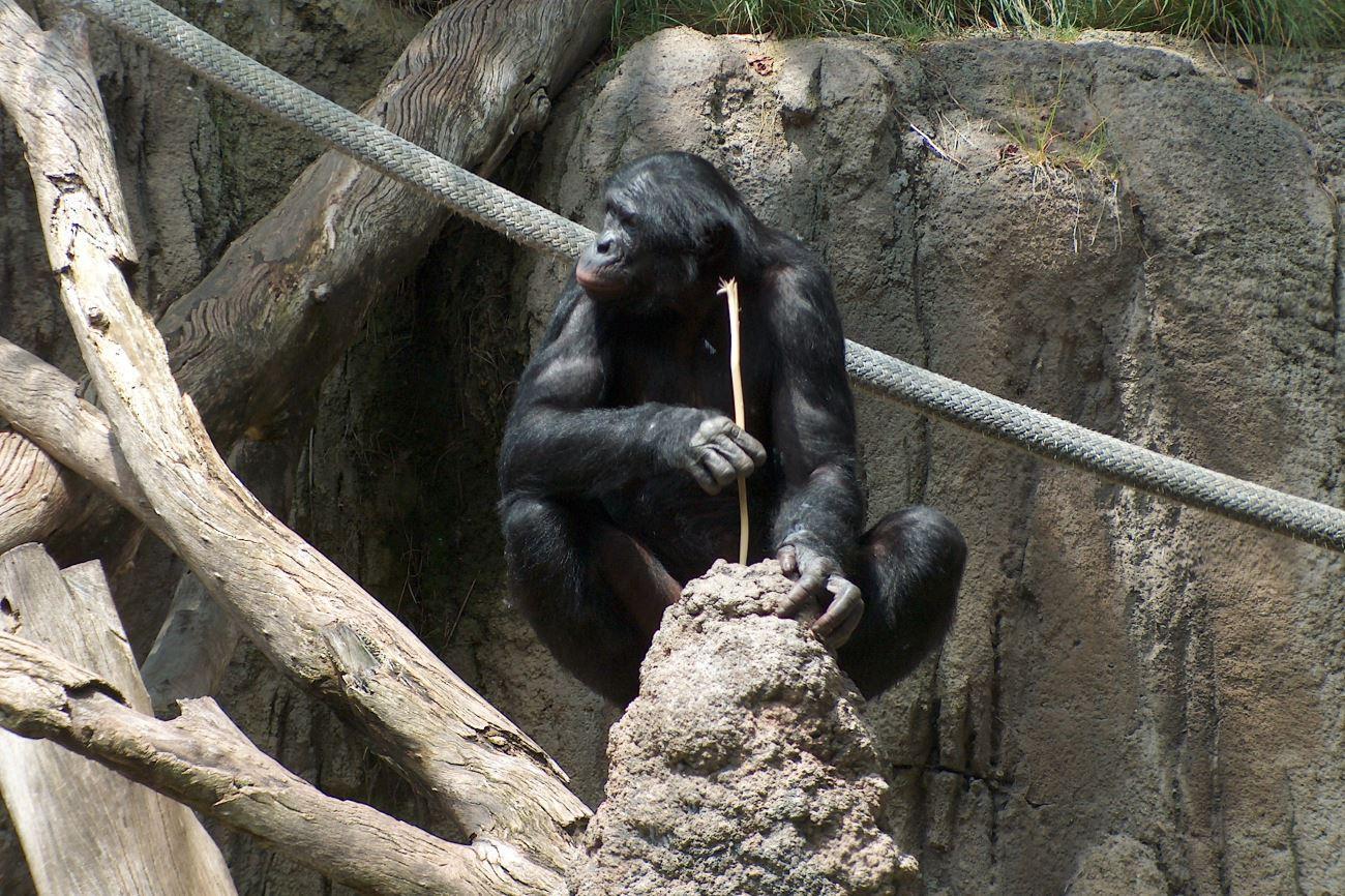 дикие шимпанзе научили детенышей пользоваться удочкой для ловли термитов