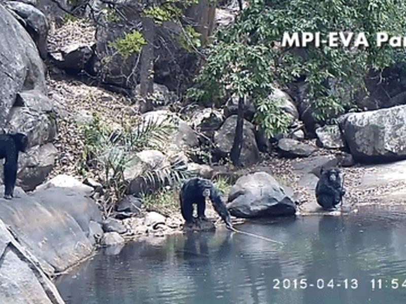 Шимпанзе застали за ловлей водорослей с помощью орудий