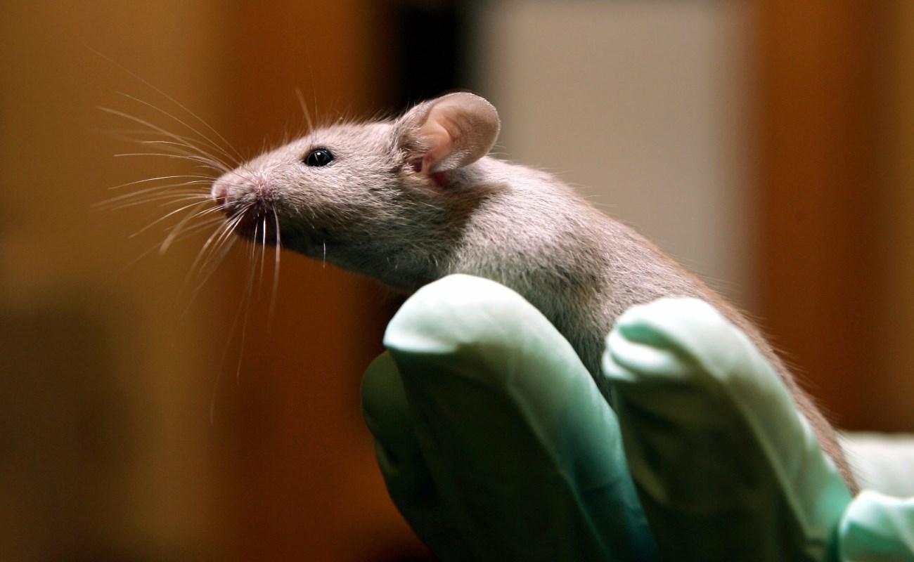 соль испортила мозг мышам