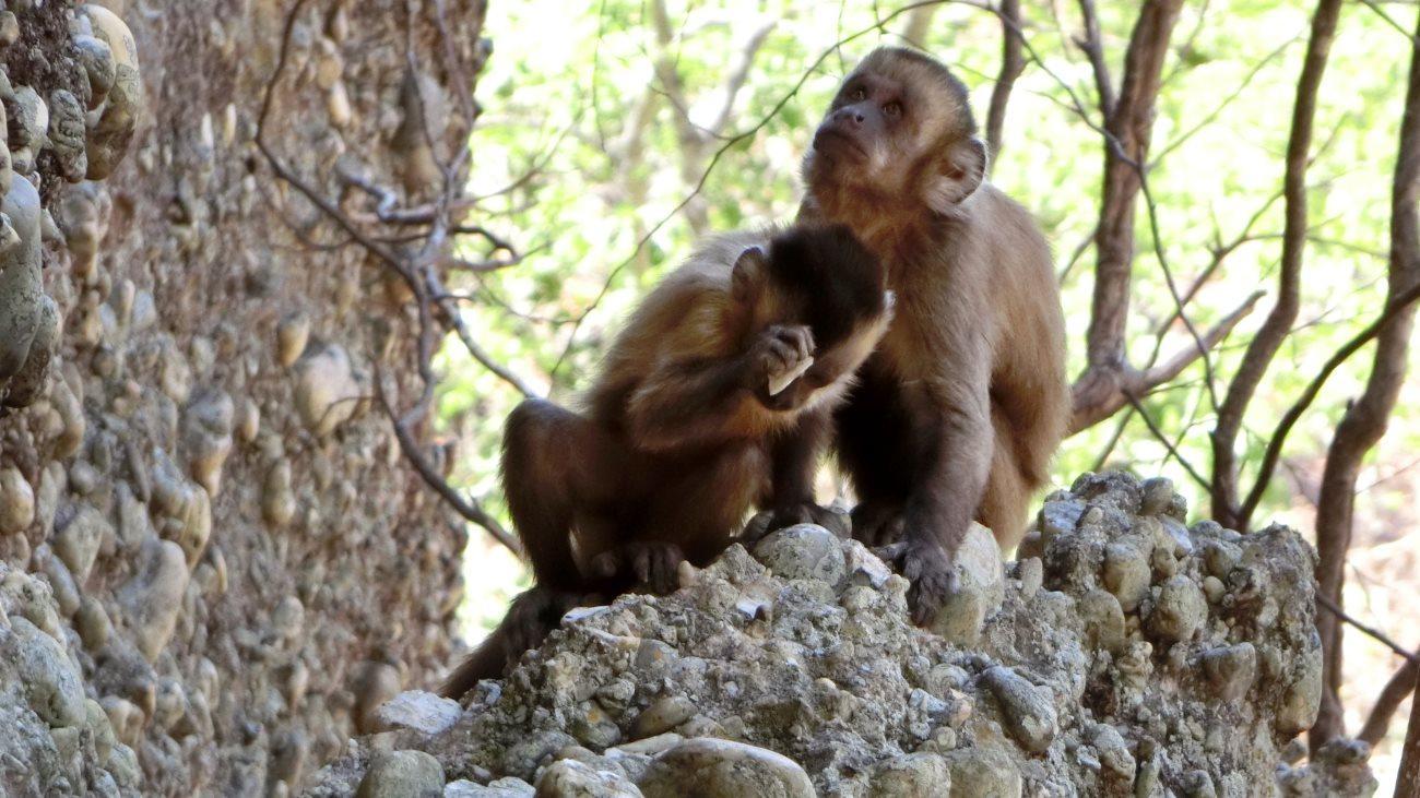 обезьяны сравнялись с доисторическими людьми в изготовлении каменных орудий