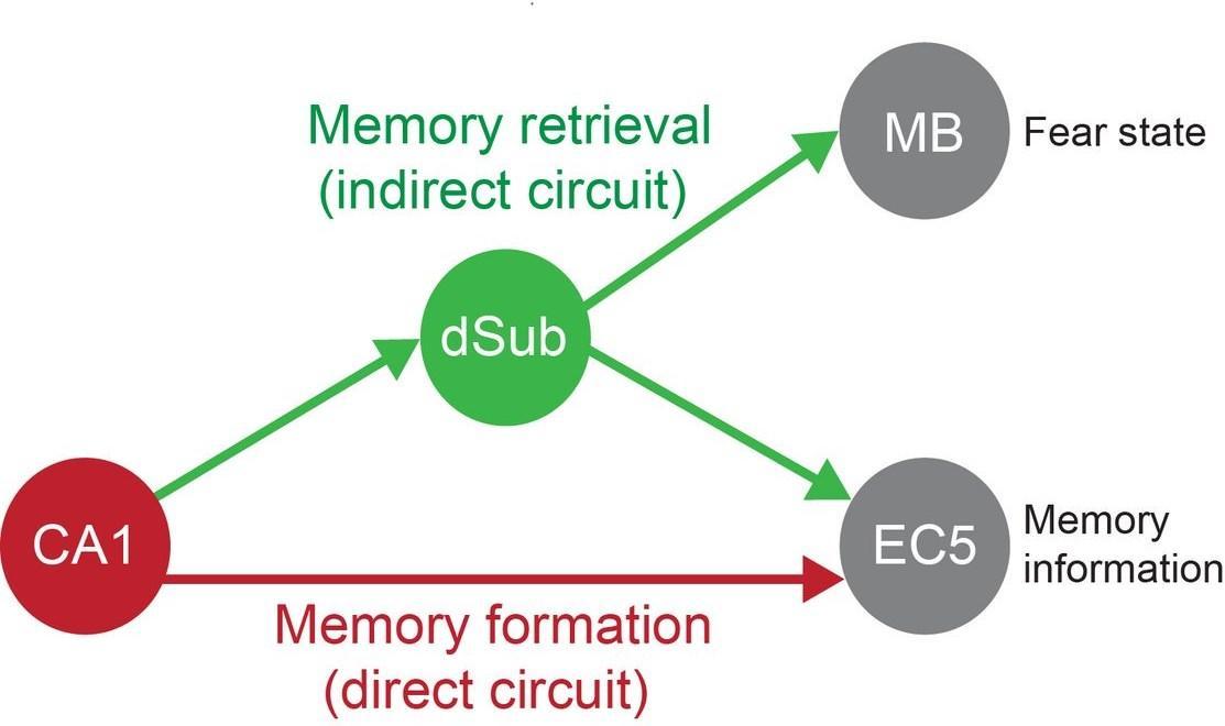 найден нейронный коррелят извлечения воспоминаний