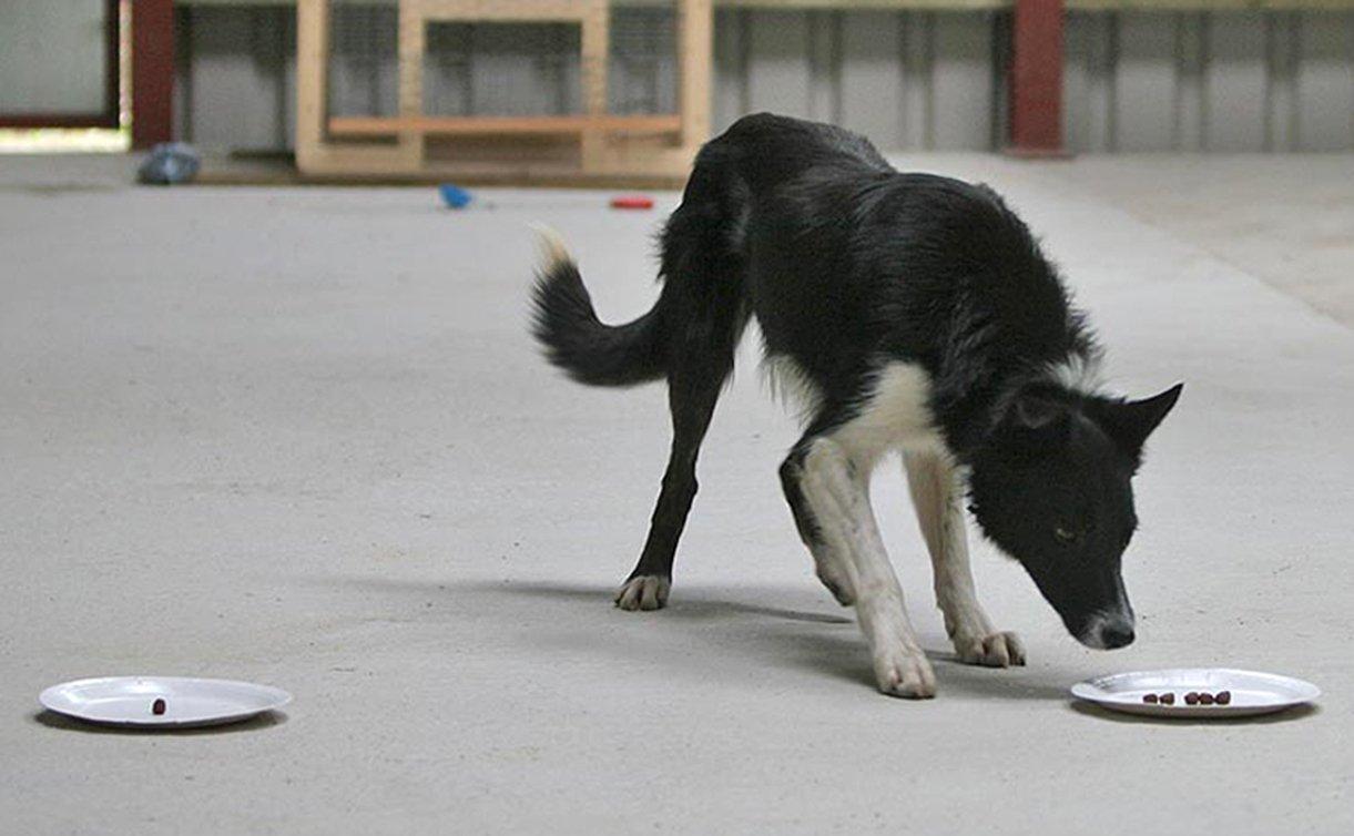 Учёные разработали для собак особый IQ-тест