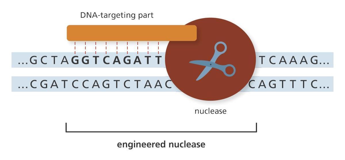 автор публикации про редактирование генома белком NgAgo отозвал статью