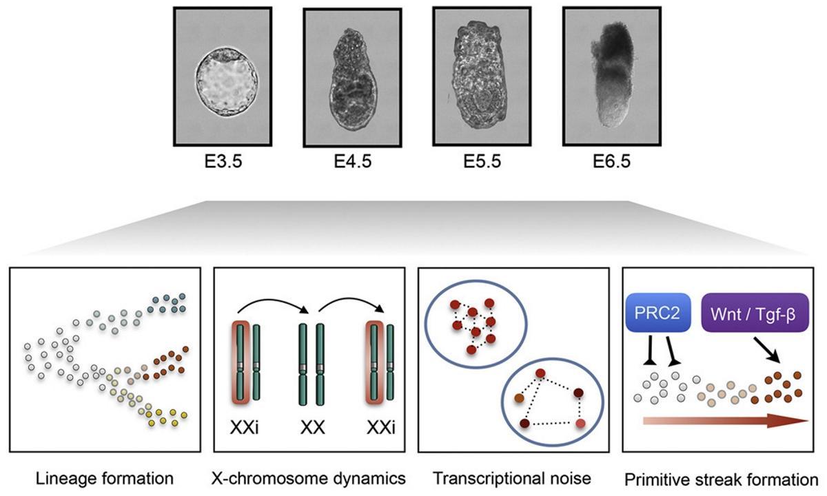Эмбриональные клетки гадают на генетическом шуме