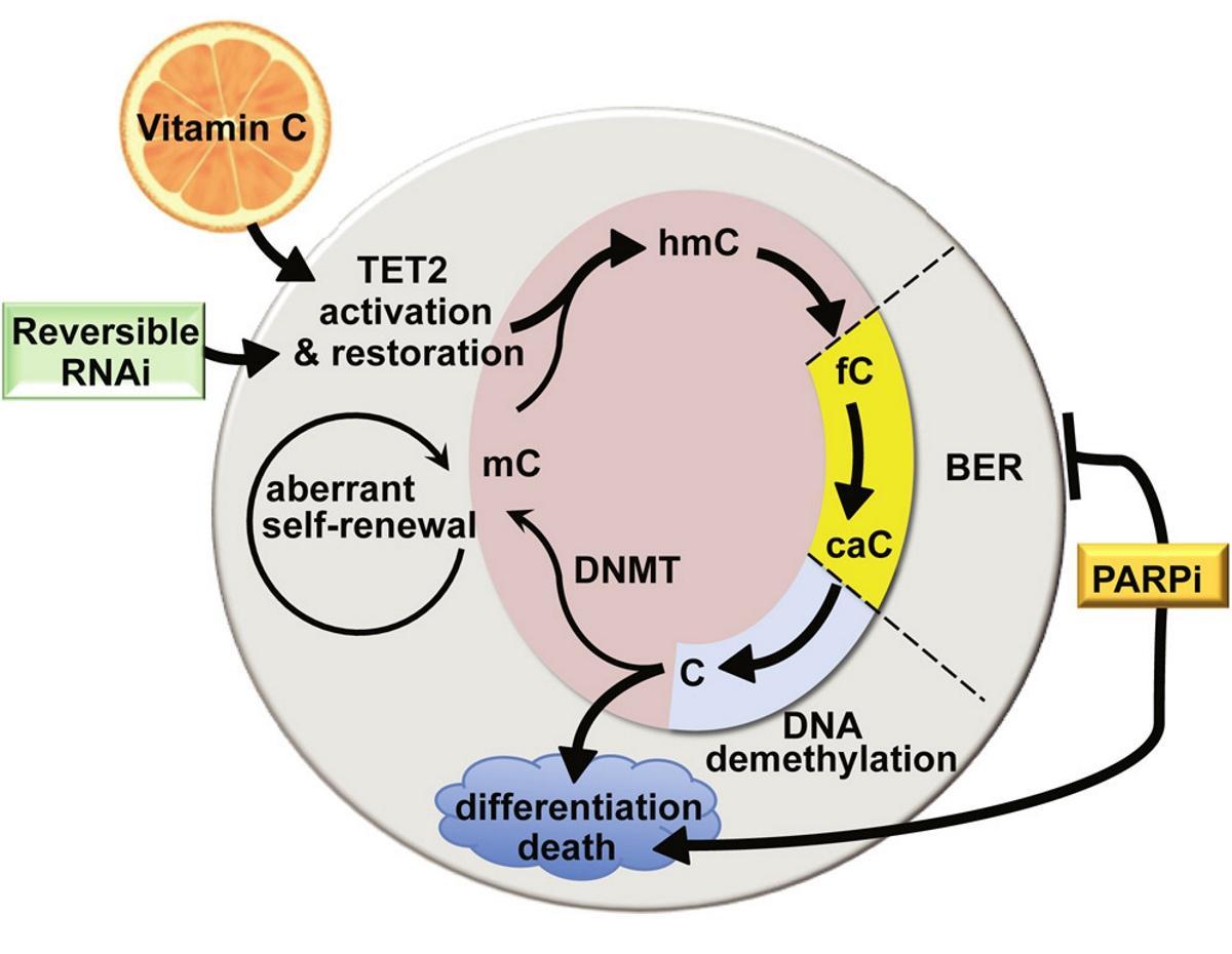 Аскорбиновая кислота против лейкемии