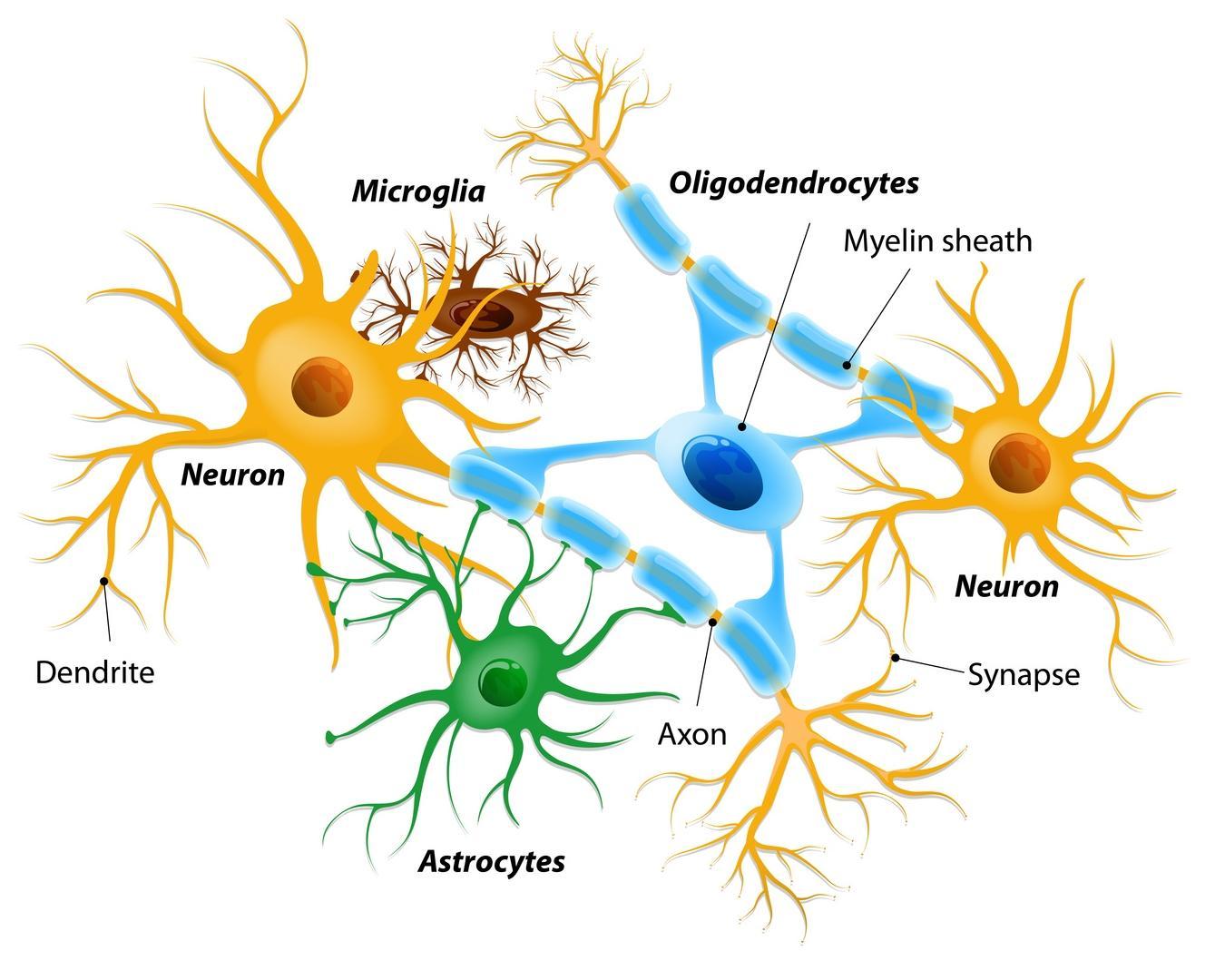 В возникновении шизофрении обвинили мутации глиальных клеток