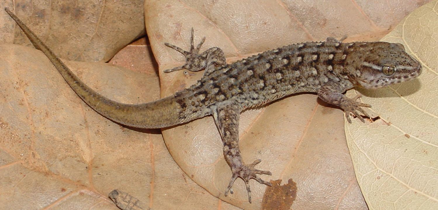 Большие термиты заставили островных гекконов быстро увеличить голову