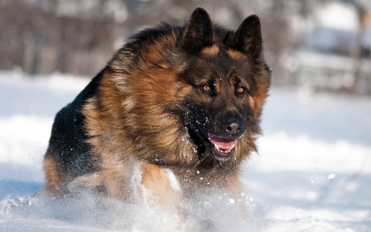 Длительная кооперация человека и собаки отразилась в наших генах