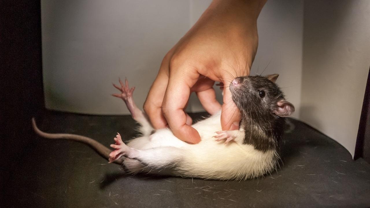 У крыс нашли нейроны щекотливости