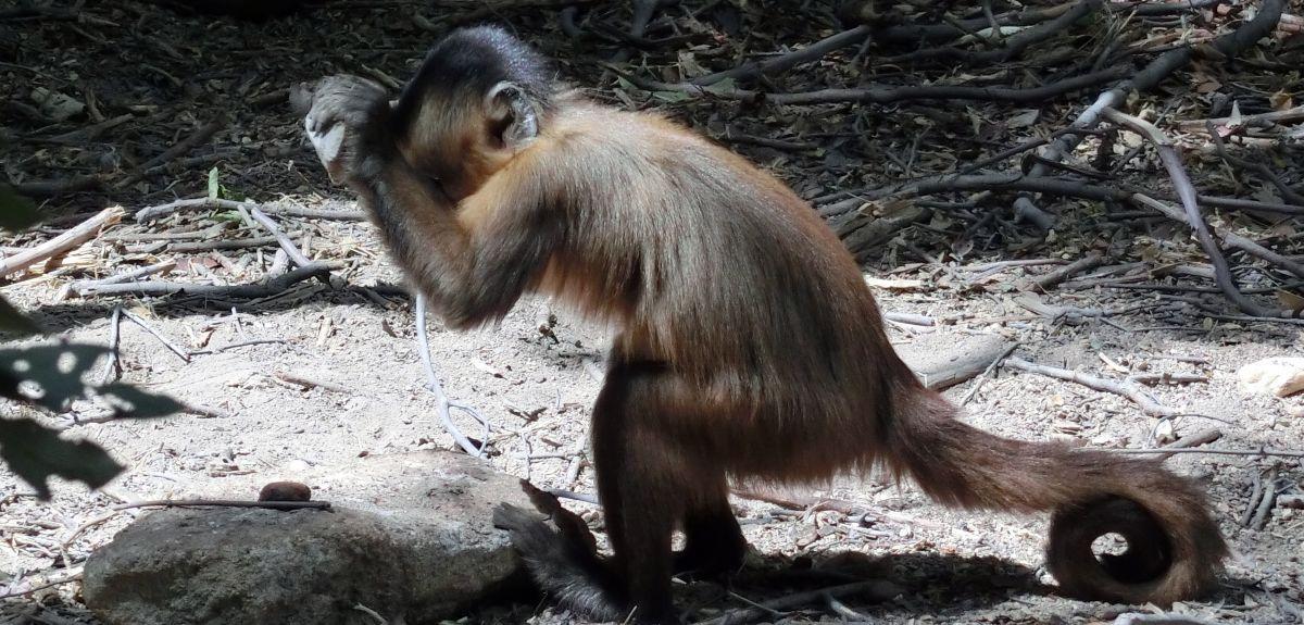 Археологи нашли доколумбовые каменные орудия обезьян