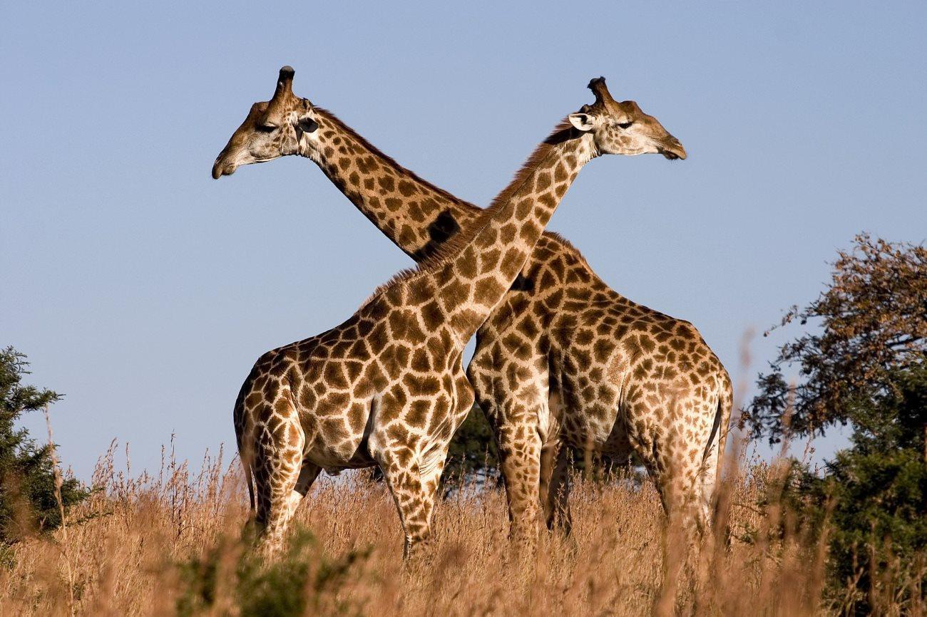 ДНК показала, что жирафы — это не один вид