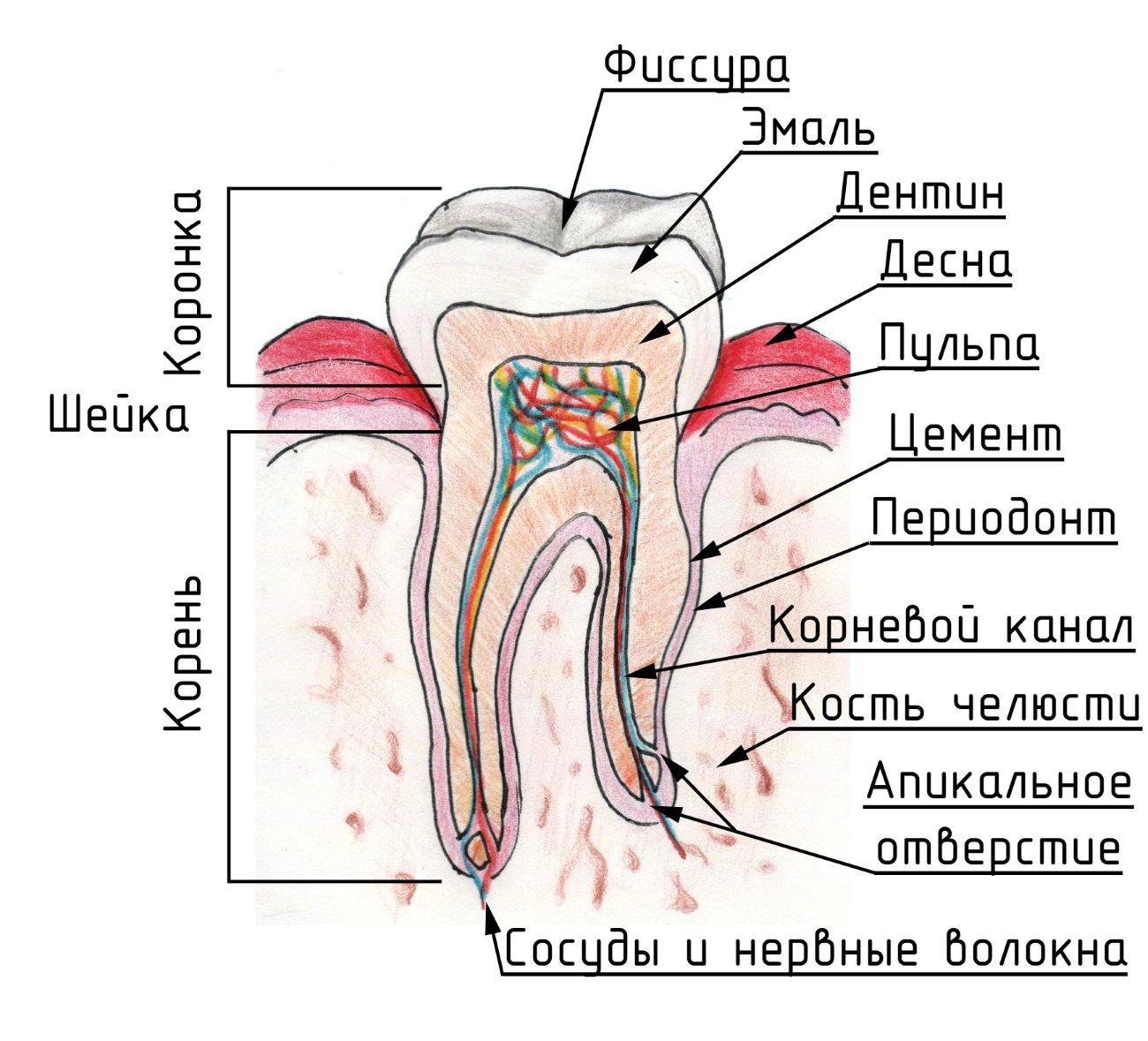 наука и жизнь наших зубов