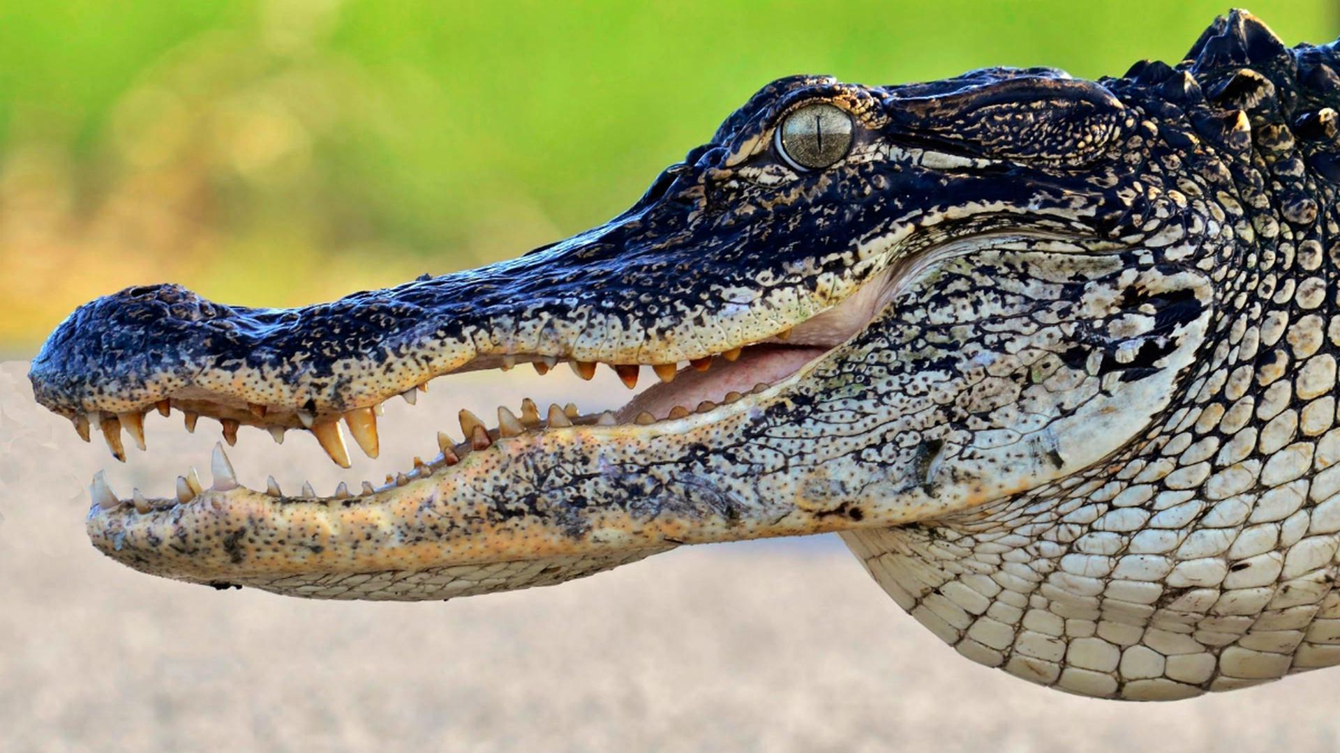 Исследование аллигаторов преподнесло биологам несколько сюрпризов