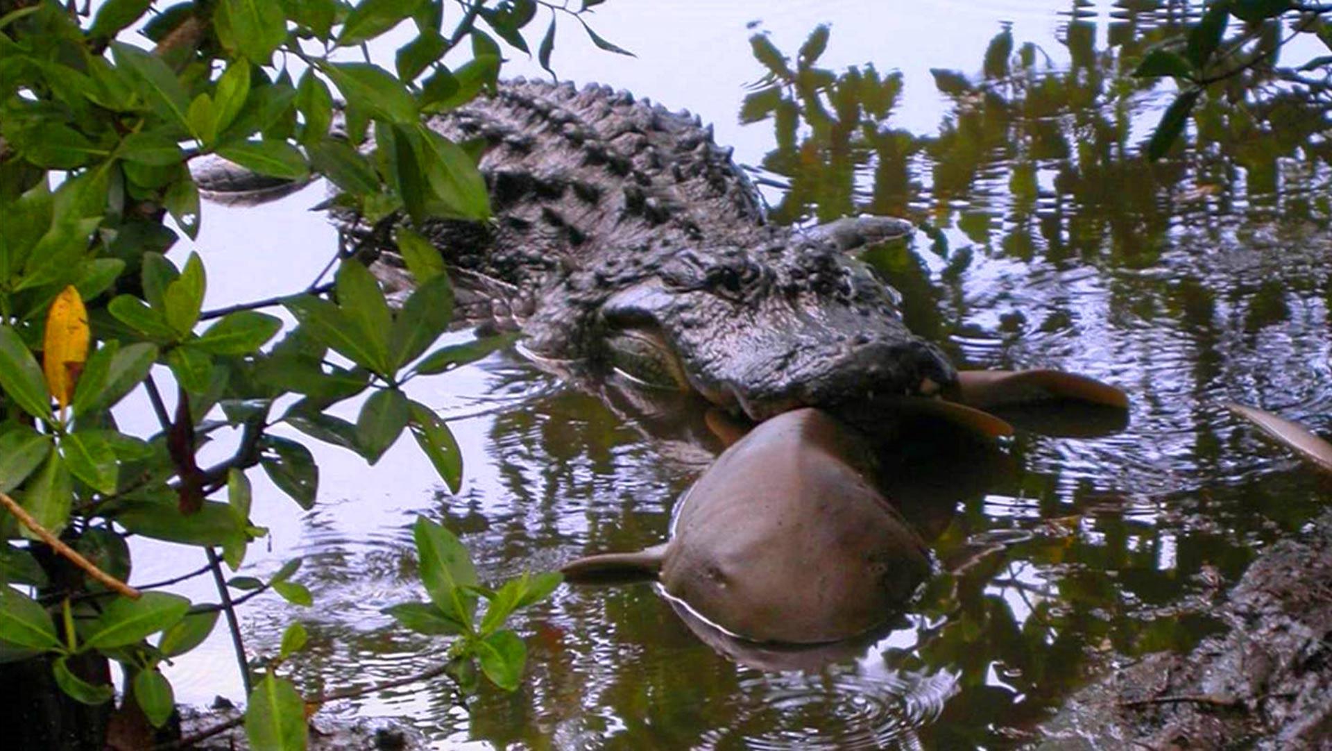 Битва гигантов: аллигаторов снова застали за поеданием акул