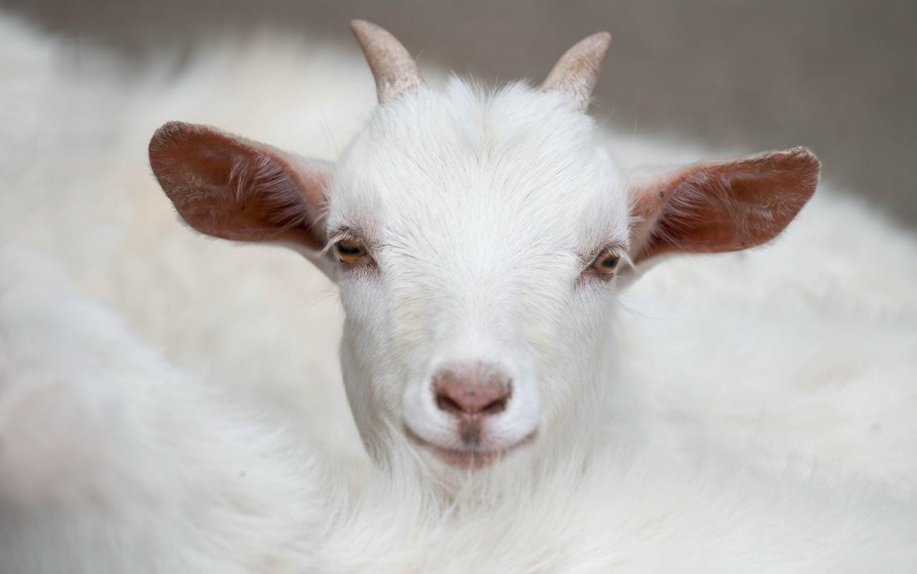 козы оказались способны просить помощи у человека