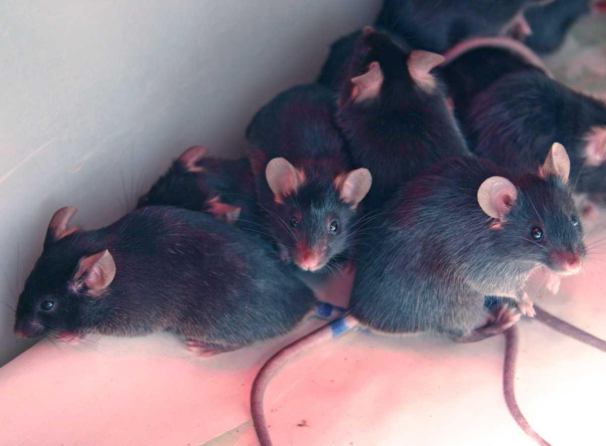 Агрессия приводит к появлению новых клеток в мозге