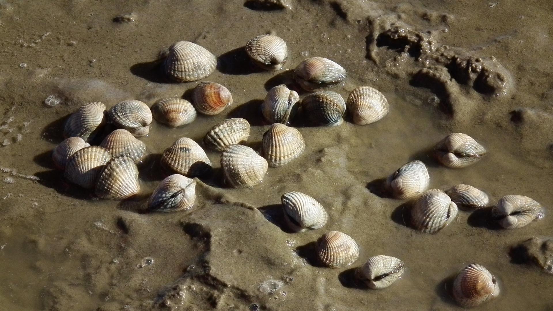 Моллюски заражают раком друг друга