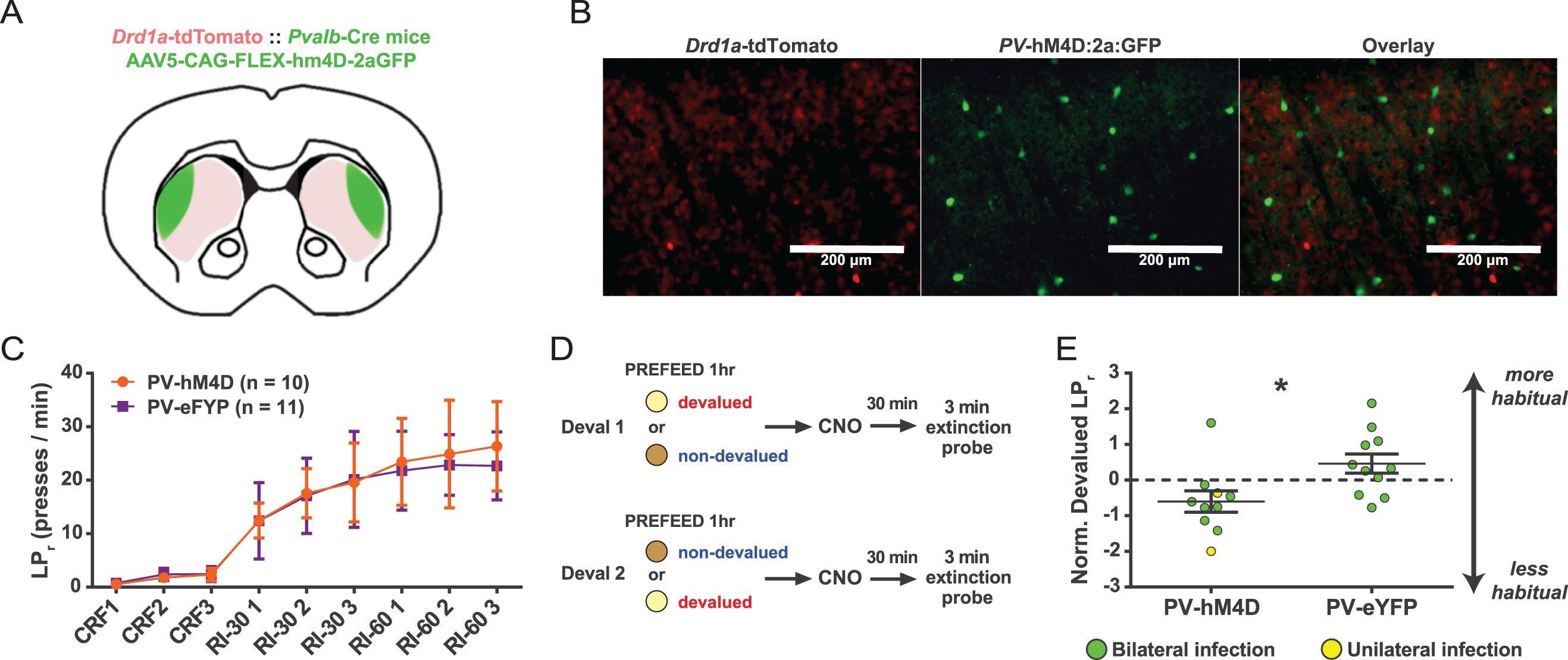 Fast-spiking interneurons: нейроны, формирующие привычки