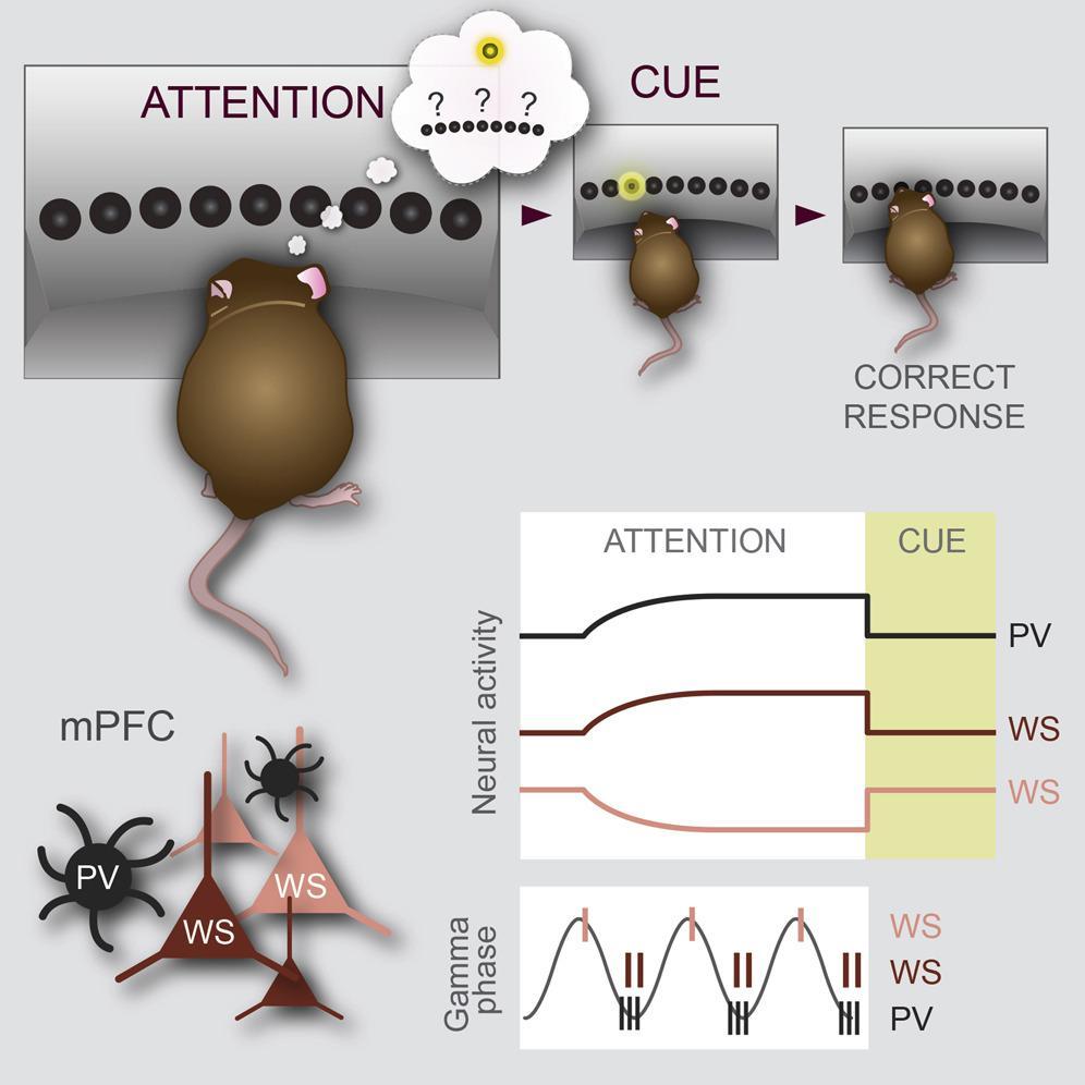 Обнаружены нейроны внимания
