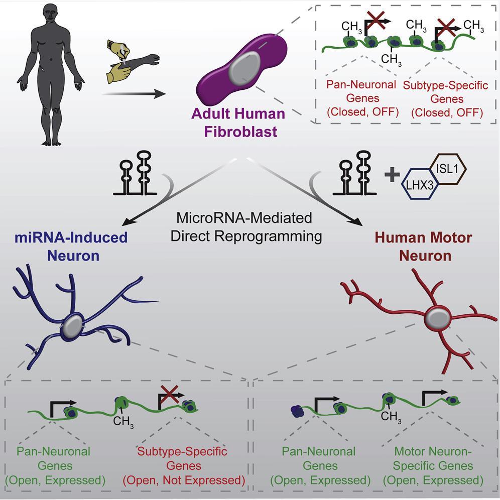 Моторные нейроны из кожи: напрямую, без стволовых клеток