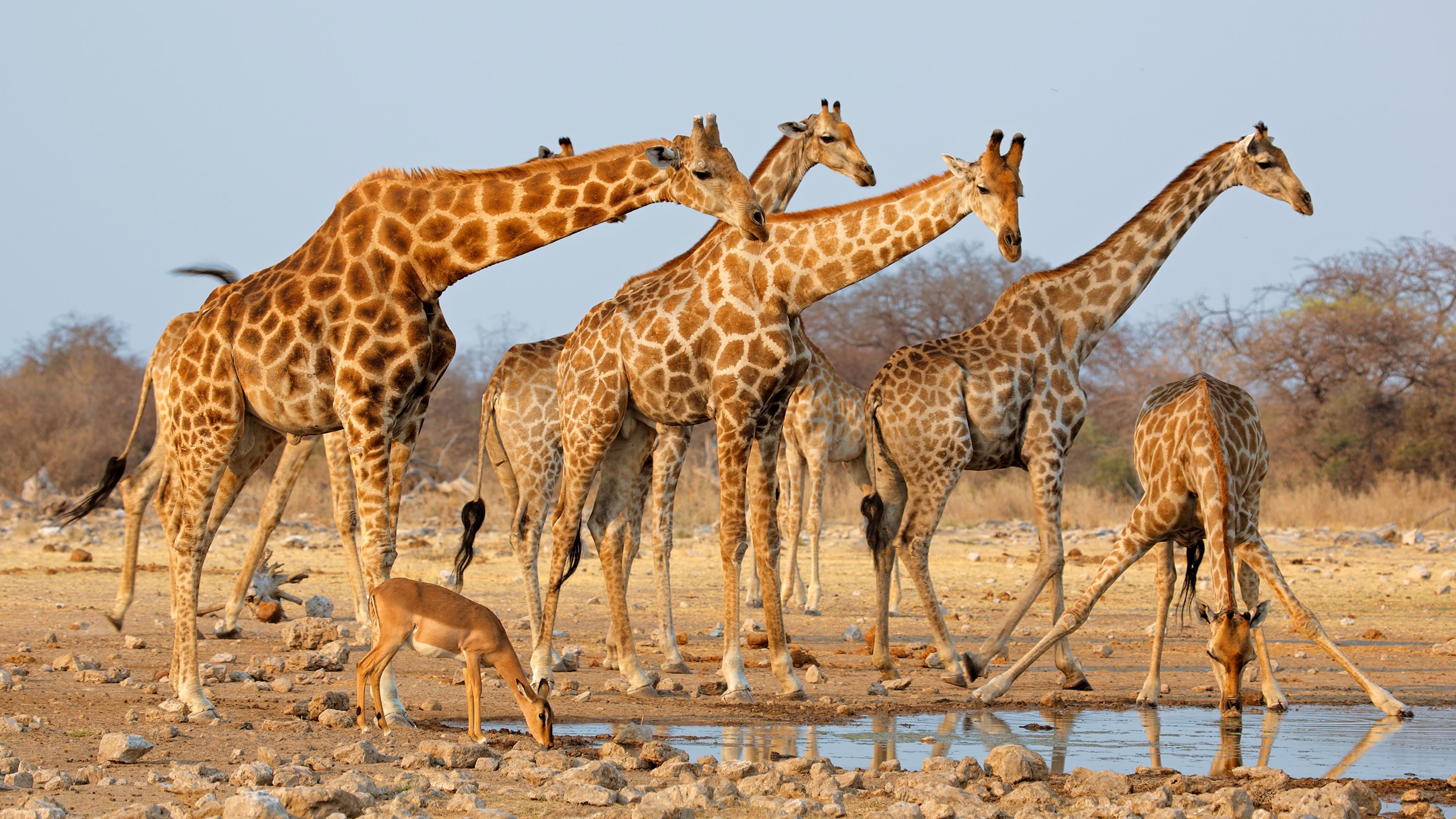 ДНК показала, что жирафы — это не один вид, а четыре