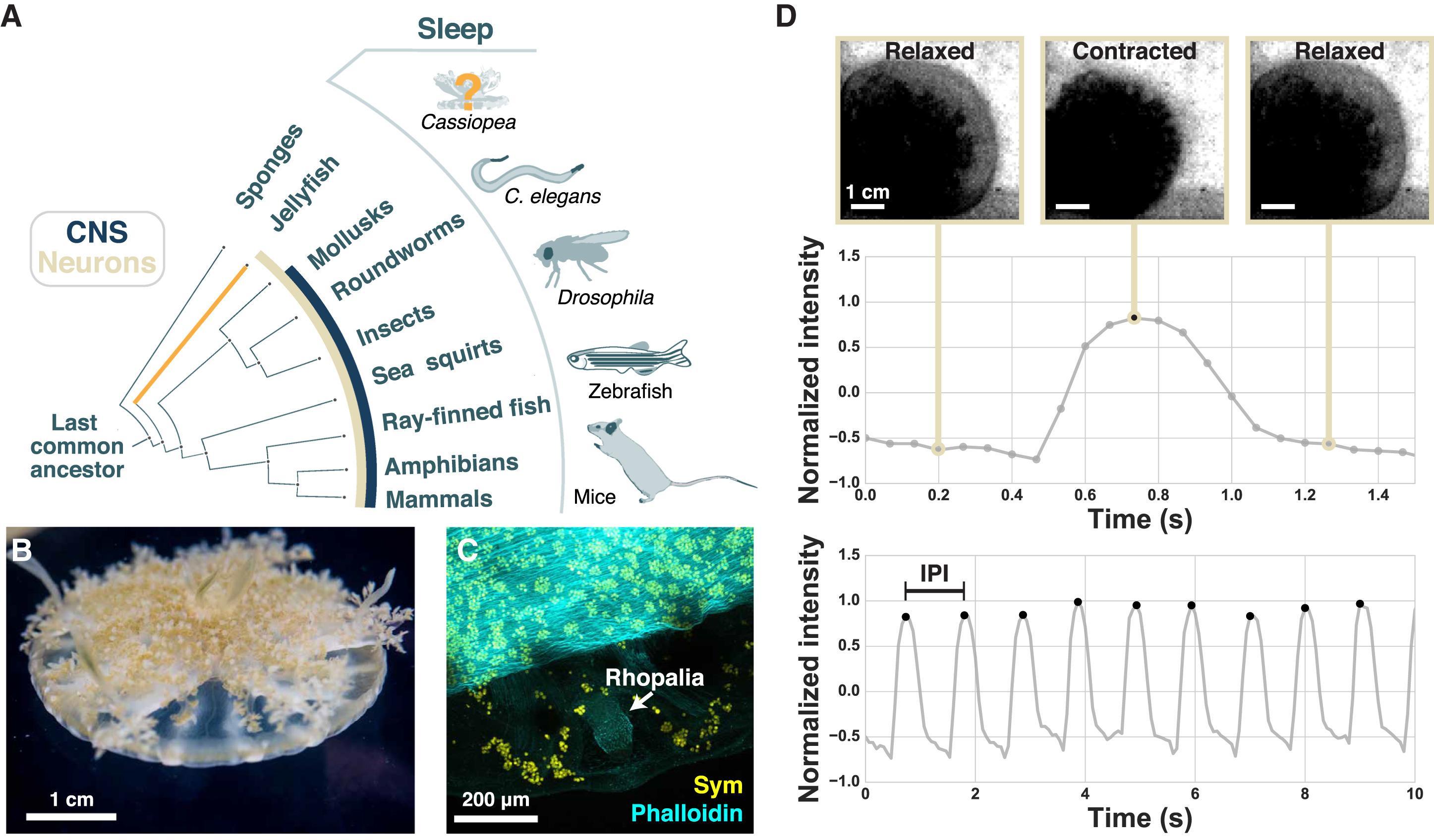 Медузы тоже хотят спать