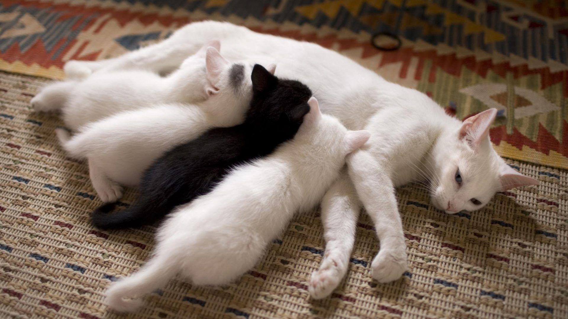 Материнское молоко делает котиков ласковыми