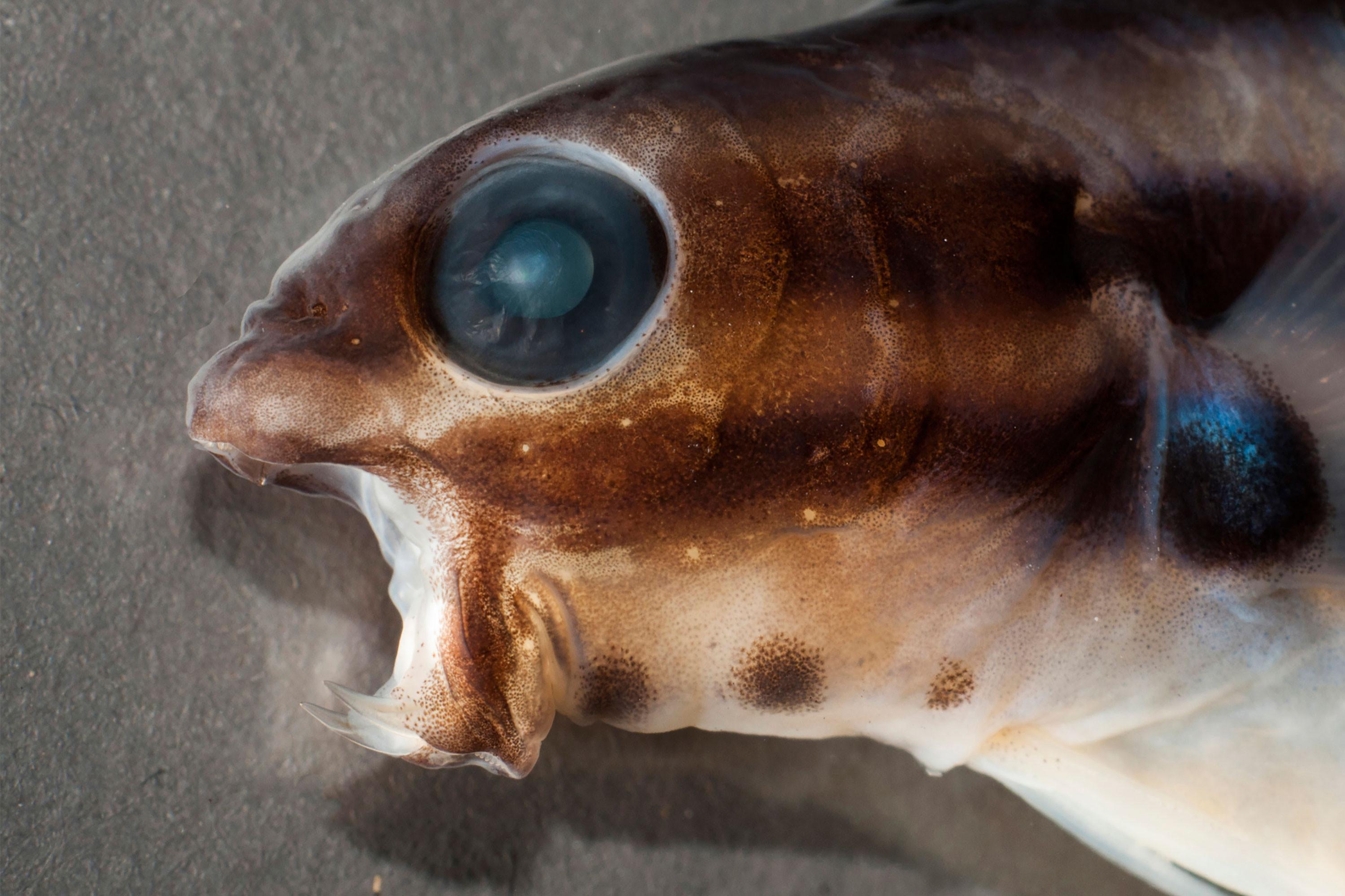 Яд клыкастой морской собачки одурманивает врагов без боли