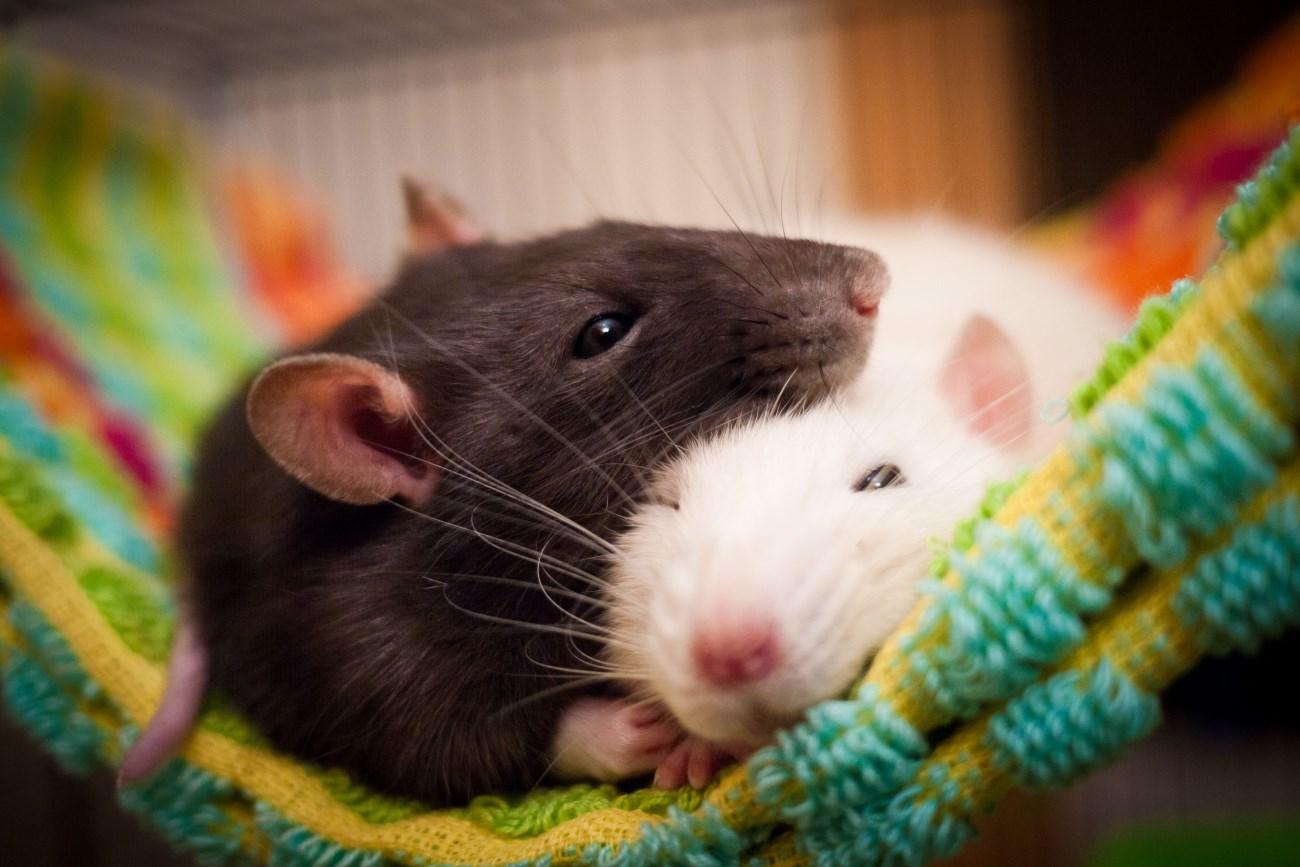 испытанный наяву страх настиг крыс во сне