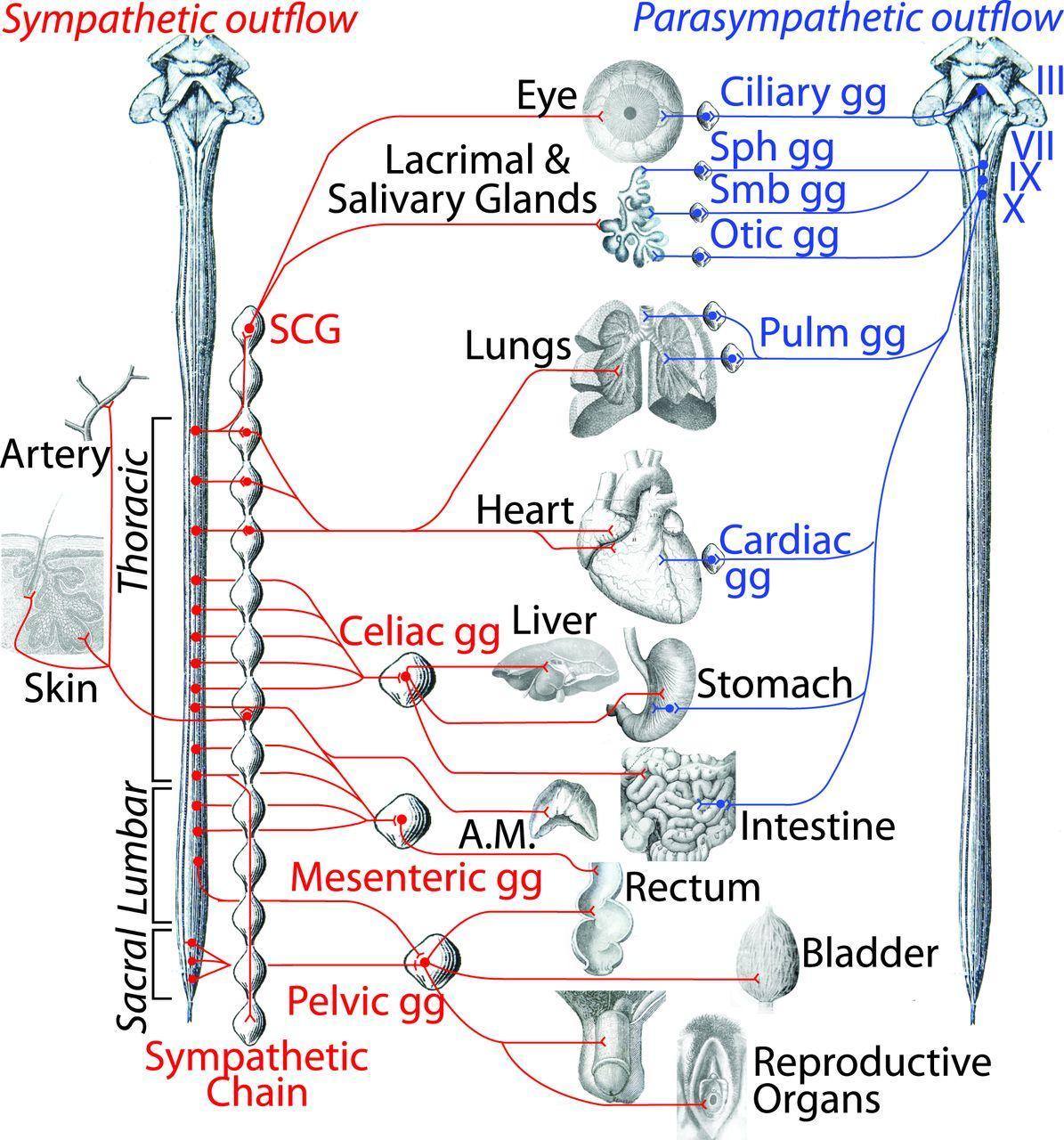 А ты симпатическая. Ученые 130 лет ошибались в строении автономной нервной системы