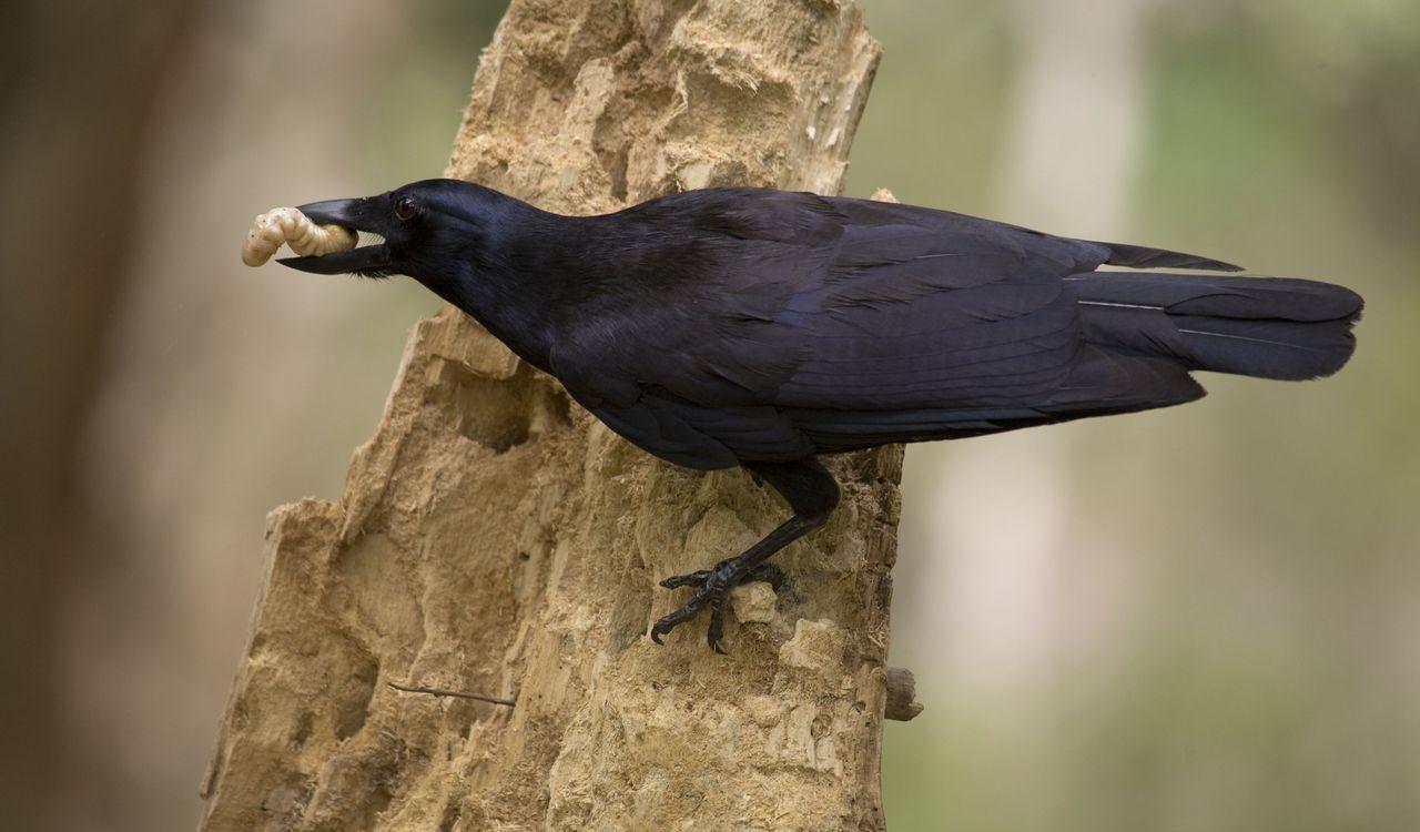 Новокаледонский ворон, доставший личинку при помощи палки