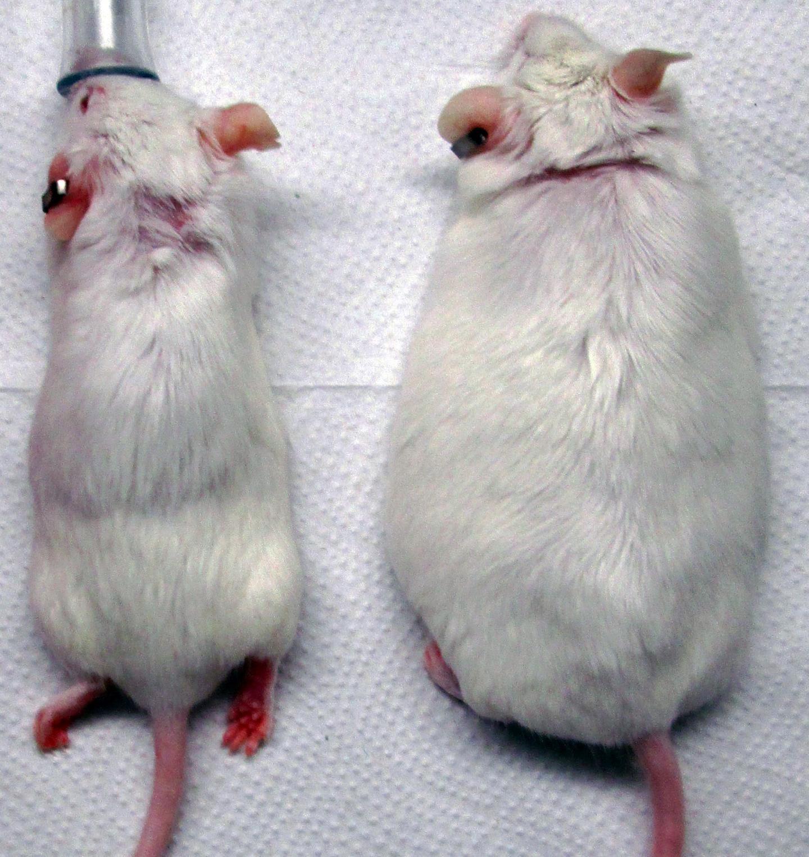 Генно-модифицированные имплантаты победят диабет и ожирение