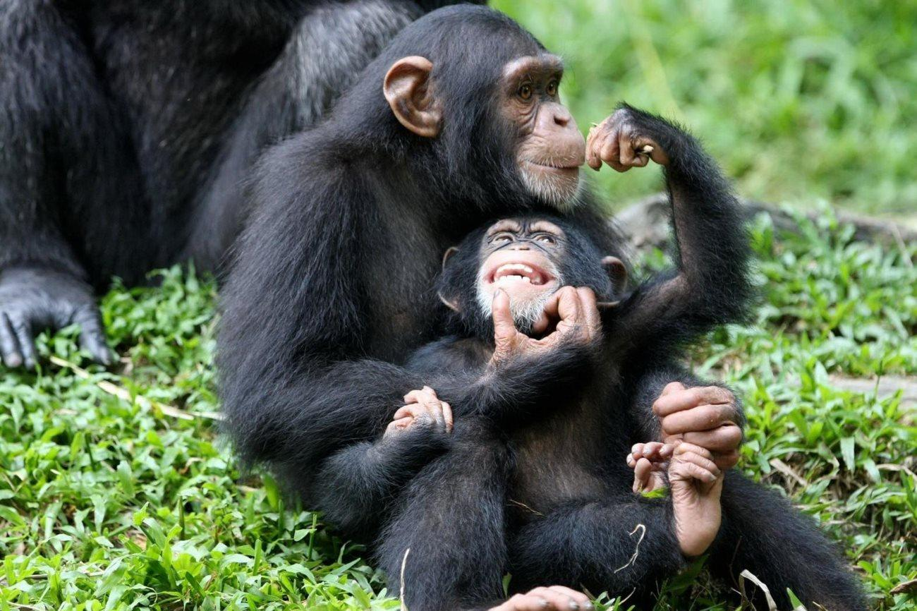 Иерархия у шимпанзе: королевы обезьян раскрывают тайны