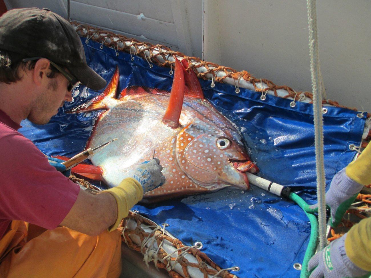 биологи обнаружили первую теплокровную рыбу