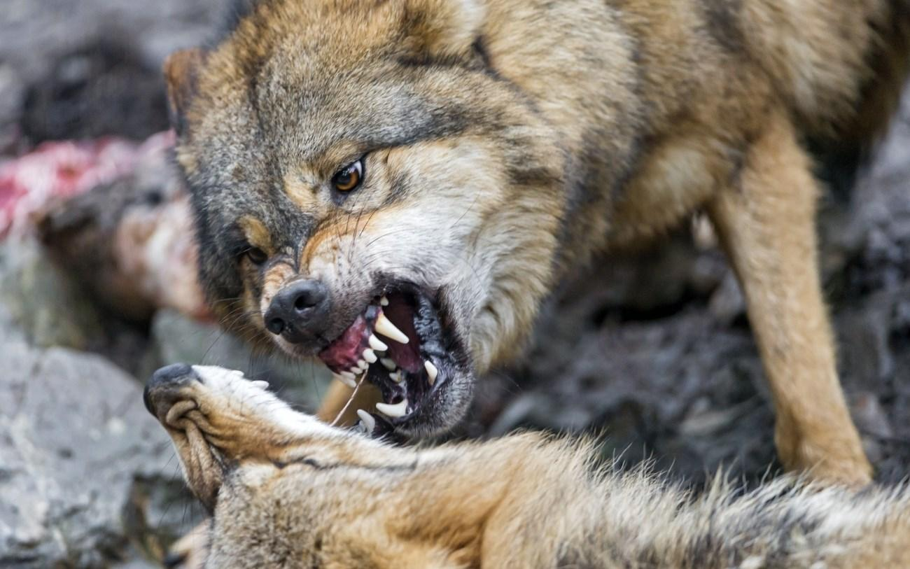 Волки оказались толерантнее собак
