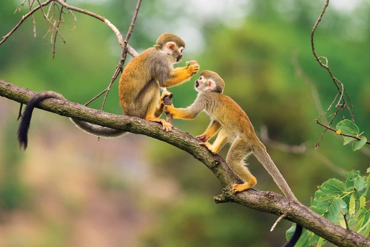 бывают ли обезьяны моногамными