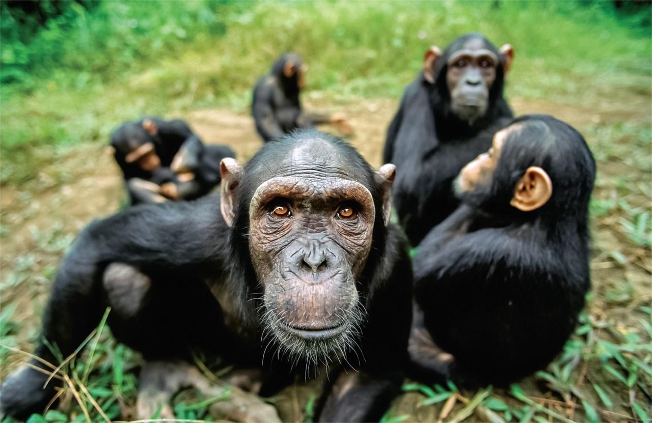 Зефирный эксперимент связал самоконтроль шимпанзе с уровнем интеллекта