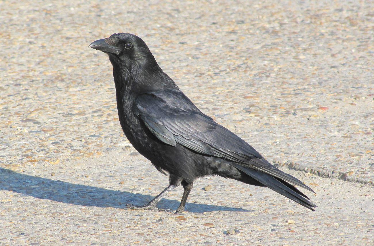 Corvus Sapiens